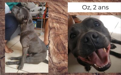 Oz, Staffie de 2 ans, paralysé suite à une angiostrongylose